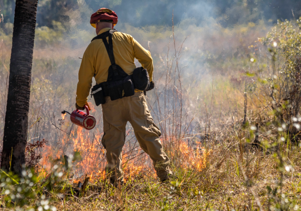 A firefighter lights and monitors a prescribed fire